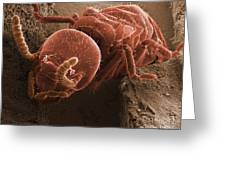 Eastern Subterranean Termite, Sem Greeting Card by Ted Kinsman