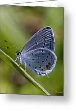 Eastern Tailed-blue Butterfly Din045 Greeting Card