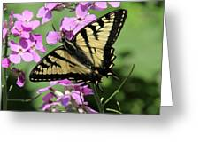 Canadian Tiger Swallowtail On Phlox Greeting Card
