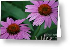 Echinacea Cone Flowers Greeting Card