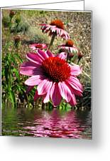 Echinacea In Water Greeting Card