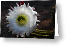Echinopsis Candicans Greeting Card