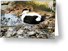 Eider Duck 2 Greeting Card