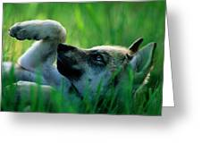 Eight-week-old Captive Gray Wolf, Canis Greeting Card