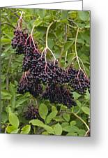 Elderberries (sambucus Nigra) Greeting Card
