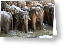Elephant Herd In River Greeting Card