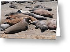 Elephant Seal Colony On Big Sur  Greeting Card