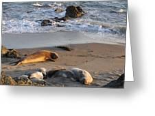 Elephant Seals At Piedras Blancas Greeting Card