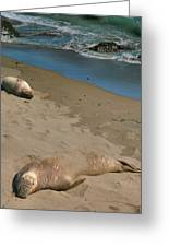 Elephant Seals Molting Greeting Card by Steven Ainsworth