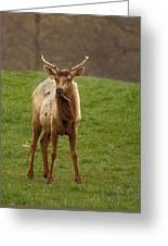 Elk 1 Greeting Card