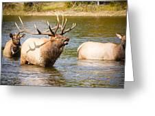 Elk Bugle Estes Lake Colorado Greeting Card