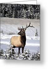 Elk Cervus Canadensis Bull Elk During Greeting Card