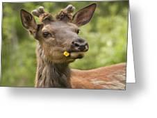 Elk Cervus Canadensis With Dandelion In Greeting Card
