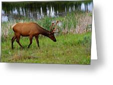 Elk Cervus Elaphus Jasper National Greeting Card