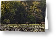 Elk Herd Crossing Buffalo National River Greeting Card