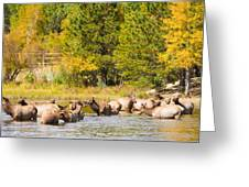 Elk Herd With Autumn Colors Greeting Card