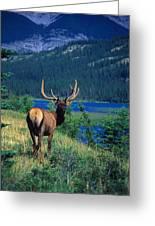 Elk In Summer By Mountain Lake Greeting Card