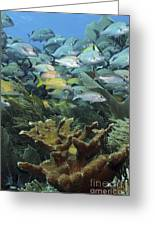 Elkhorn Coral With Schooling Grunts Greeting Card