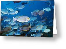 Elongate Surgeonfish Greeting Card