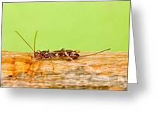 Emerald Ash Borer Parasite Greeting Card by Science Source