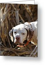 English Pointer On Point - D004001 Greeting Card