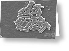 Escherichia Coli, Sem Greeting Card by CDC/Science Source