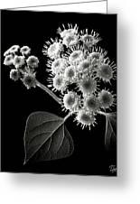 Eupatorium In Black And White Greeting Card