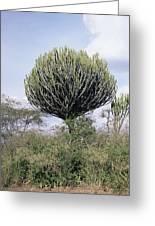 Euphorbia Candelabrum Greeting Card