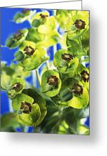 Euphorbia Sp. Greeting Card