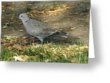 Eurasian Dove Greeting Card