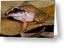 Evergreen Robber Frog Greeting Card by Dante Fenolio