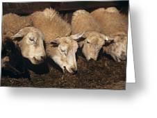 Ewes Feeding Greeting Card