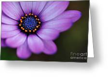 Eye Of The Daisy Greeting Card