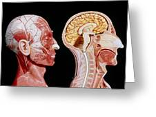 Facial Muscles And Internal Structure Of The Head Greeting Card