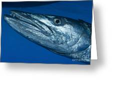 Facial View Of A Great Barracuda, Kimbe Greeting Card