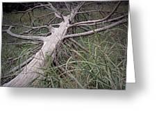 Fallen Pine Tree Greeting Card