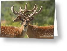 Fallow Deer Dama Dama Stags Greeting Card