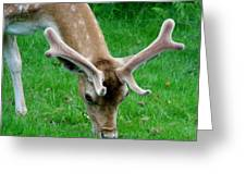 Fallow Deers Lunchtime Greeting Card