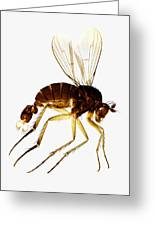 Fan-tail Fly, Light Micrograph Greeting Card