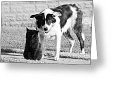 Farm Cat And Border Collie Greeting Card by Thomas R Fletcher