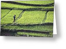 Farmer In Rice Paddy, Elevated View Greeting Card