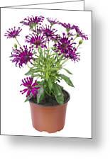 Favourite Violet Indoor Flower Greeting Card