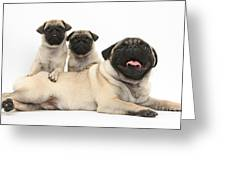 Fawn Pugs, Mother And Pups Greeting Card