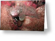 Feather Blenny Female Greeting Card