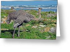 Feathers By The Sea Wild Female E African Ostrich Southern Race Cape Of Good Hope South Africa Greeting Card