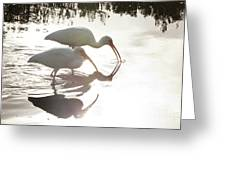 Feeding White Ibis Greeting Card