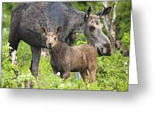 Female And A Three Weeks Old Moose Greeting Card