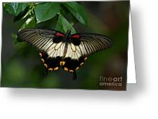 Female Asian Swallowtail Butterfly Greeting Card