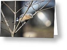 Female Bluebird Greeting Card