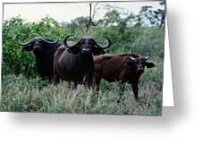 Female Cape Buffalo Syncerus Caffer Greeting Card